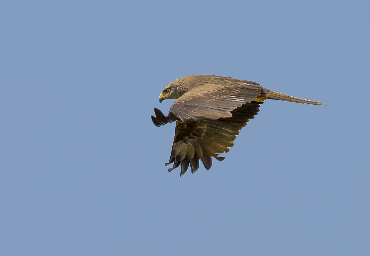 The Flight of the Red Kite...