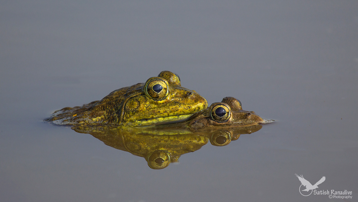 Bull Frog pair side view with reflection....