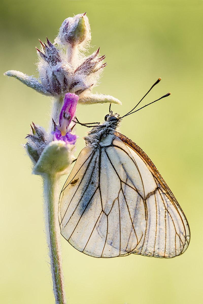 butterfly backlight...