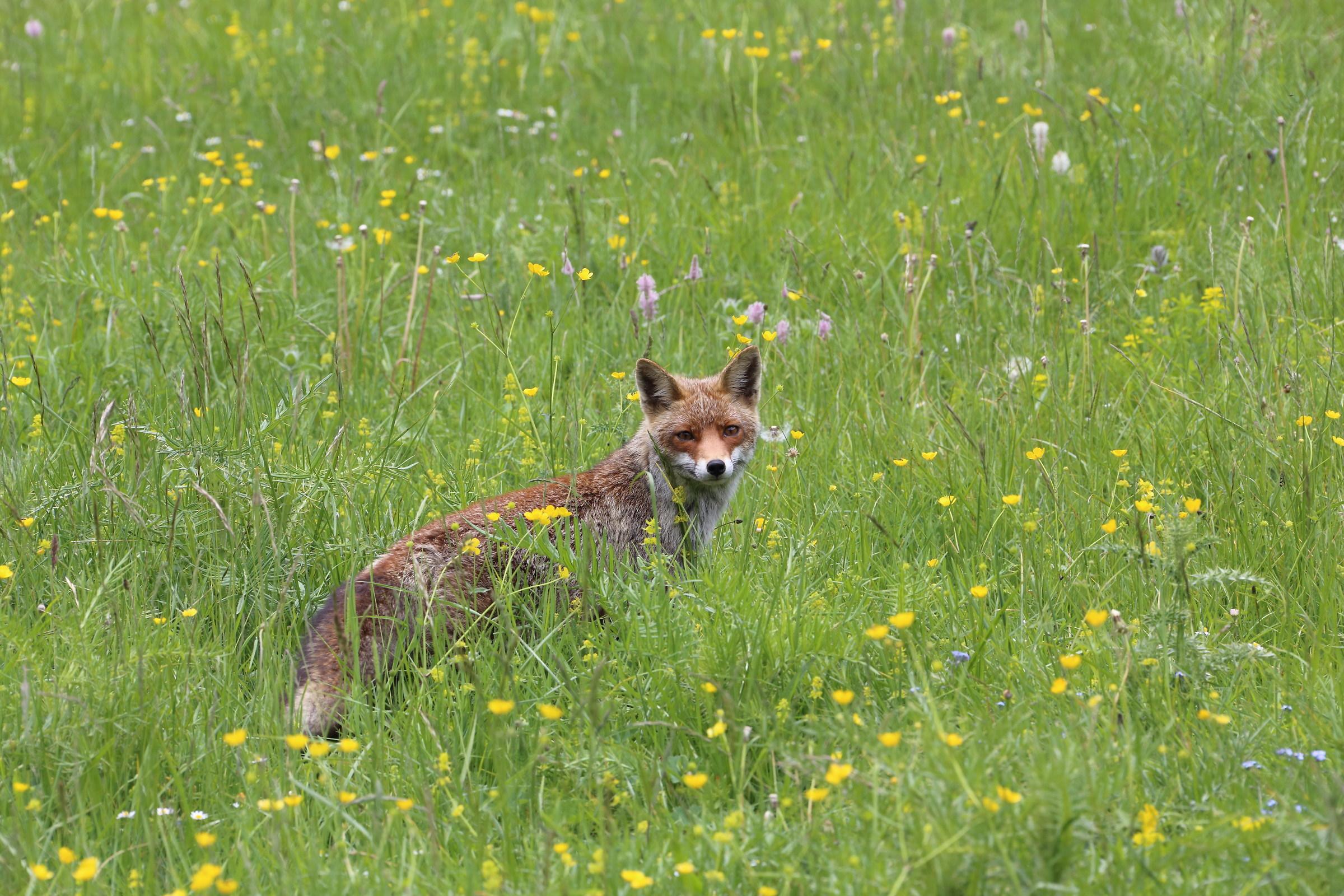 The fox spring!...