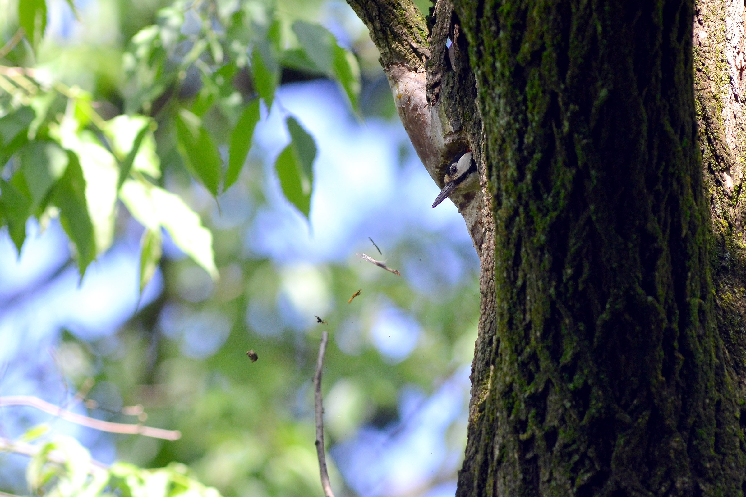 Woodpecker nest cleaning sequence r. N3...