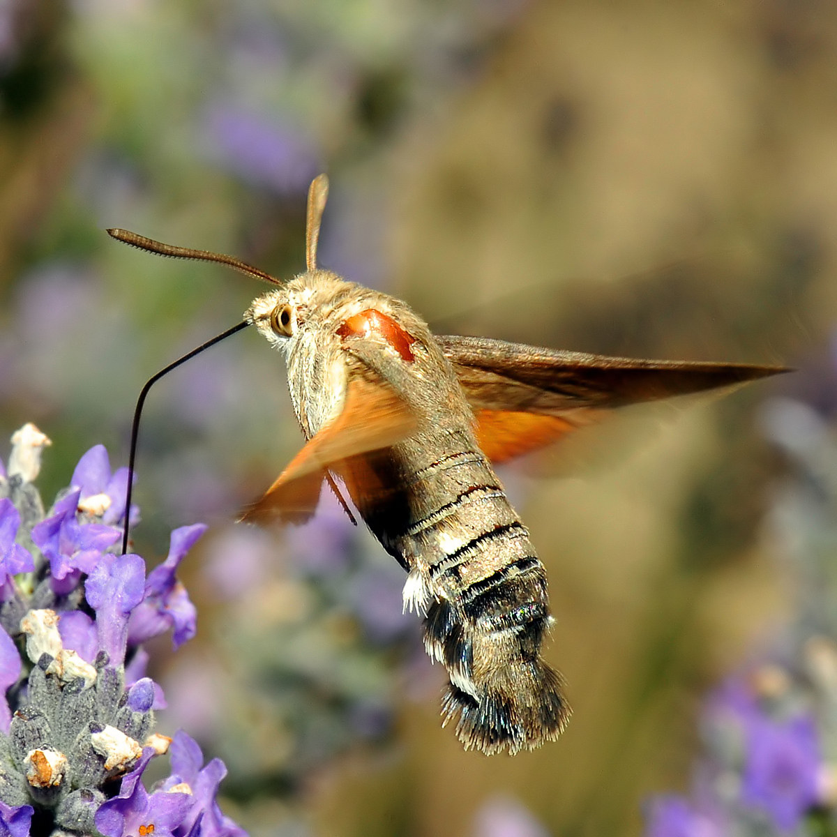 Hummingbird Hawk-moth...
