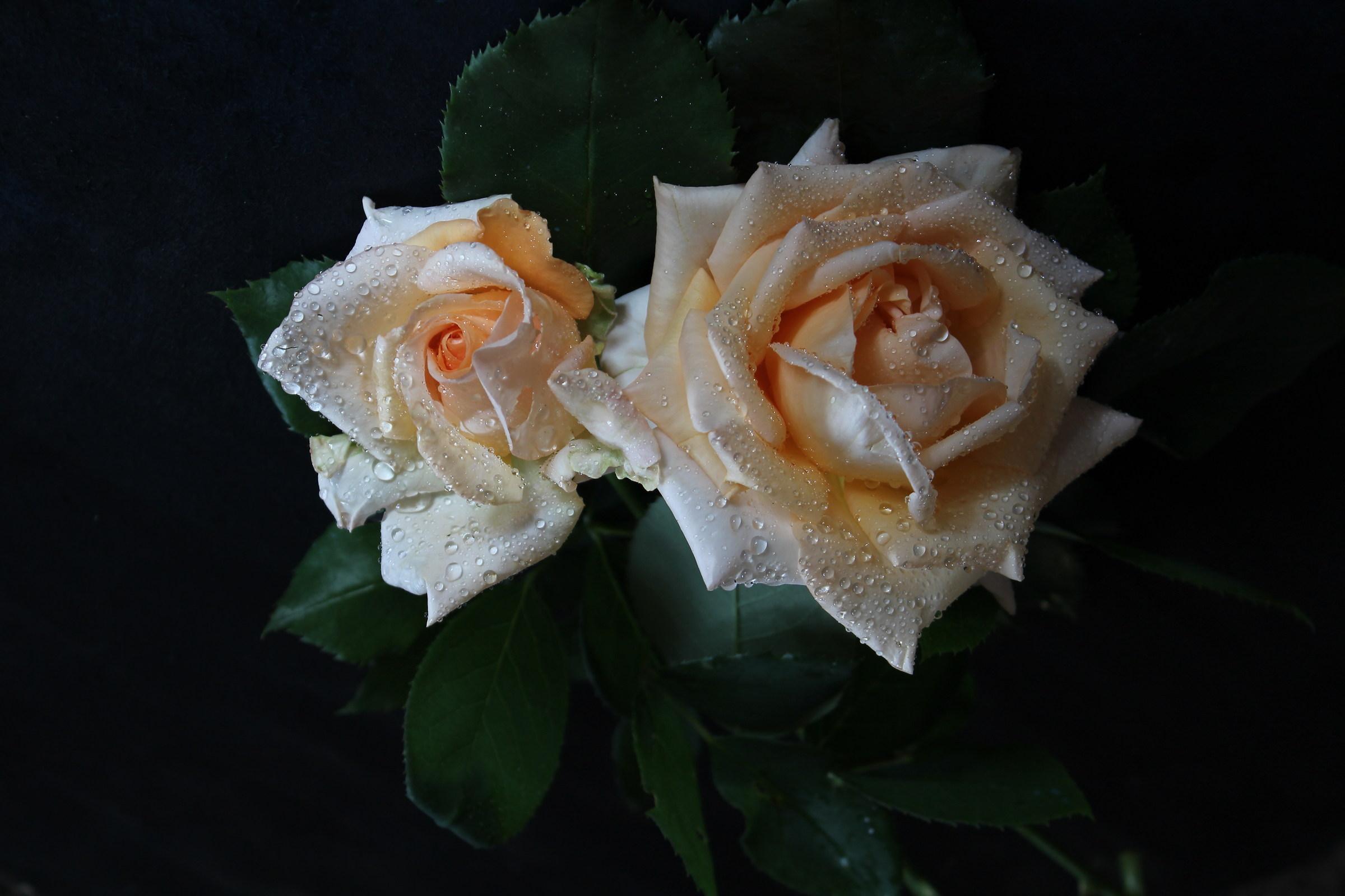 Rosa Alba Chiara...