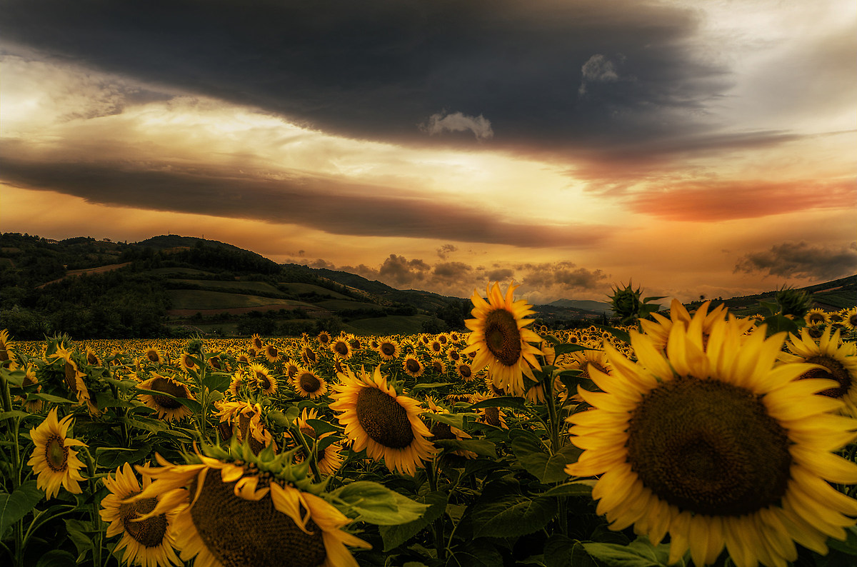 Sunflowers ......