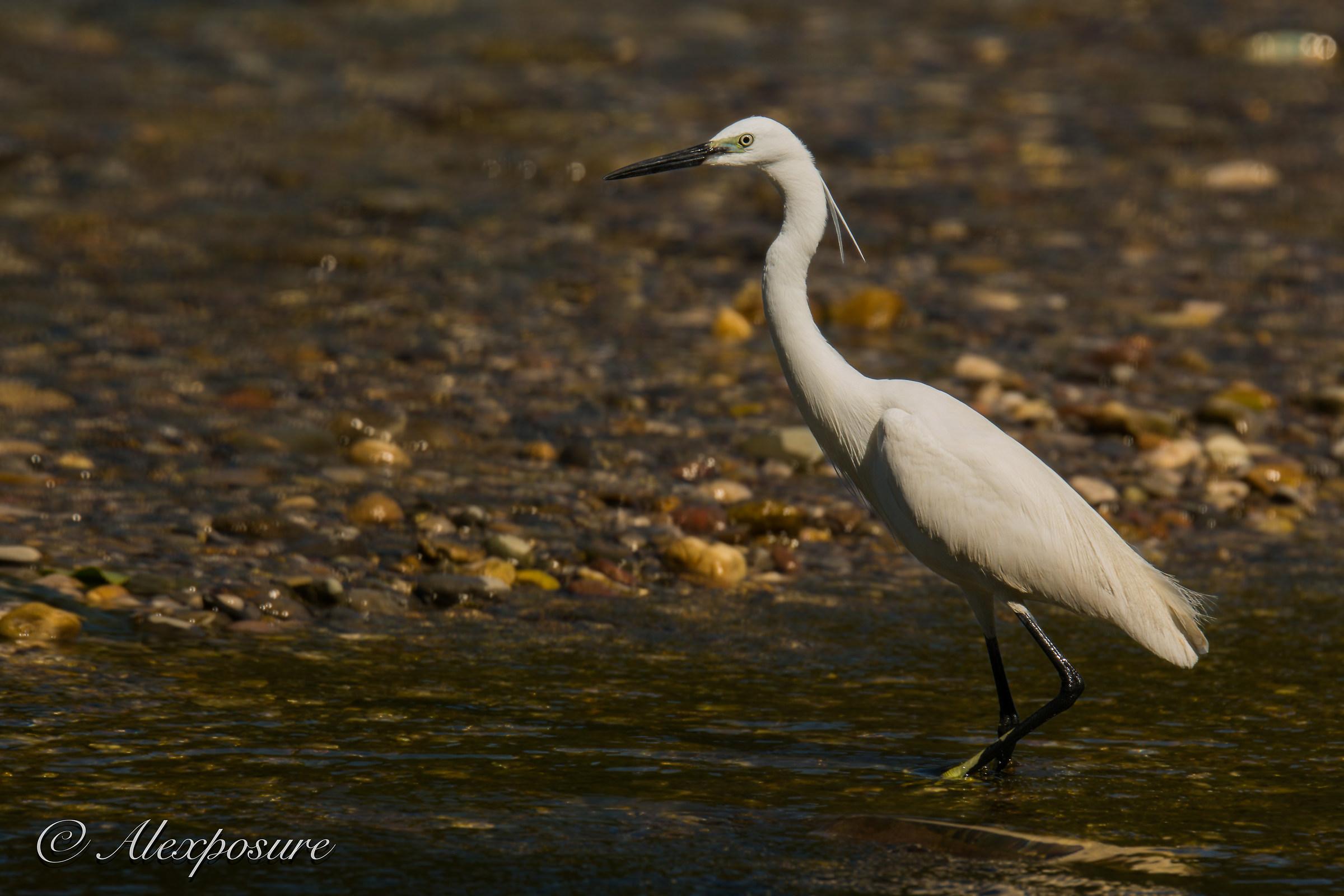 Egret - Laying...