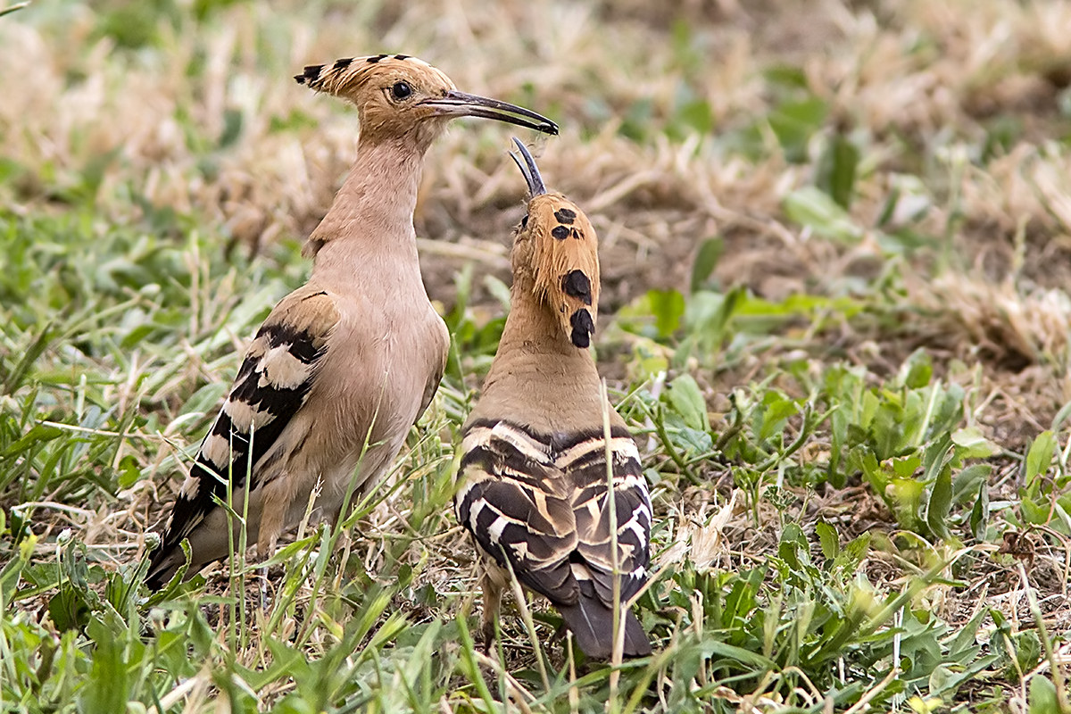 Hoopoe with small...