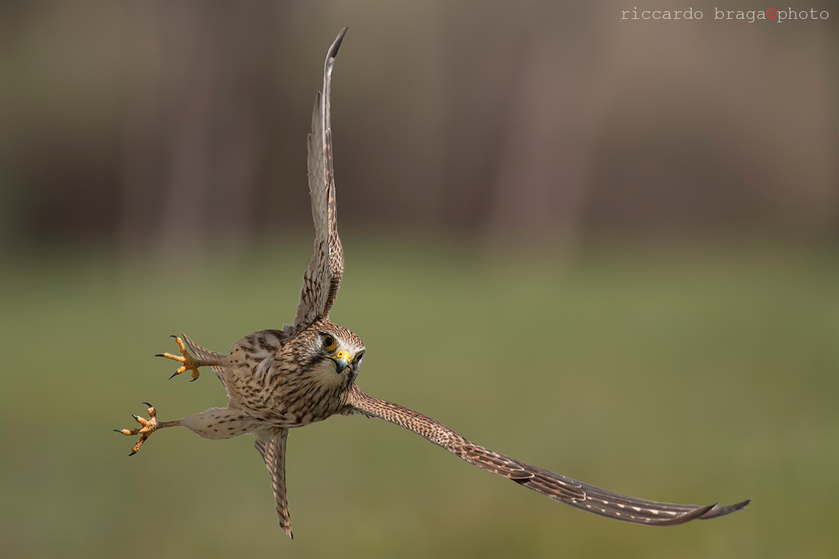 Kestrel female...