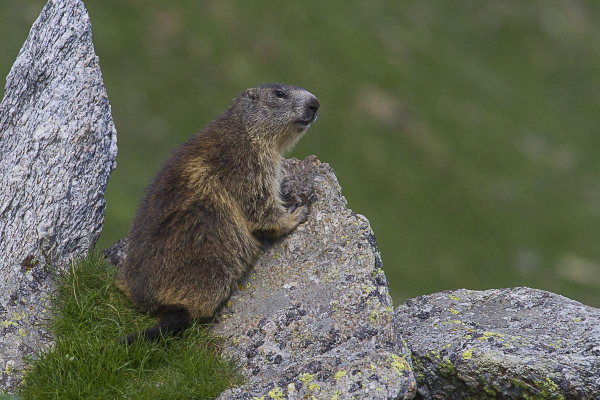 Marmot's nivolet...