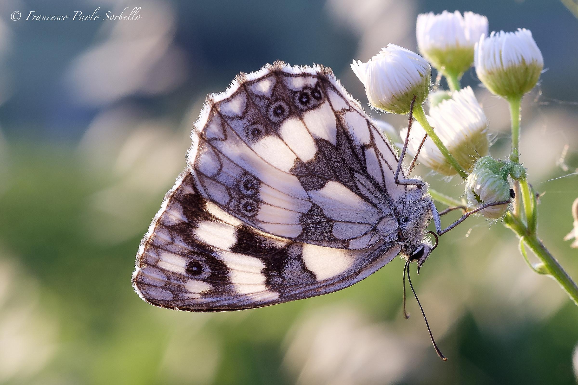 Butterfly backlit...