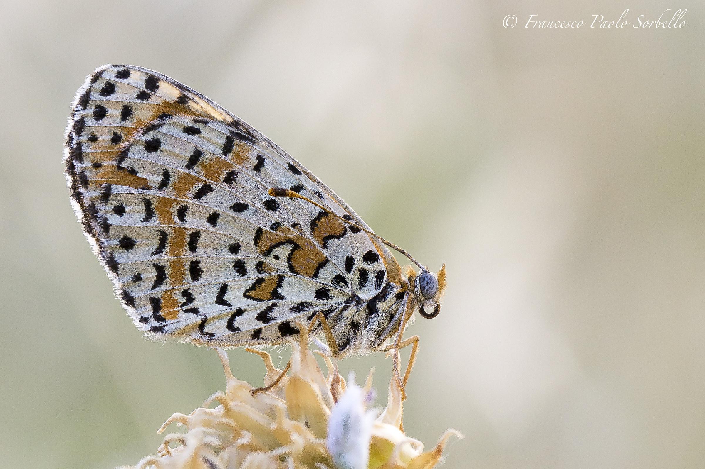 Butterfly blue eyes...