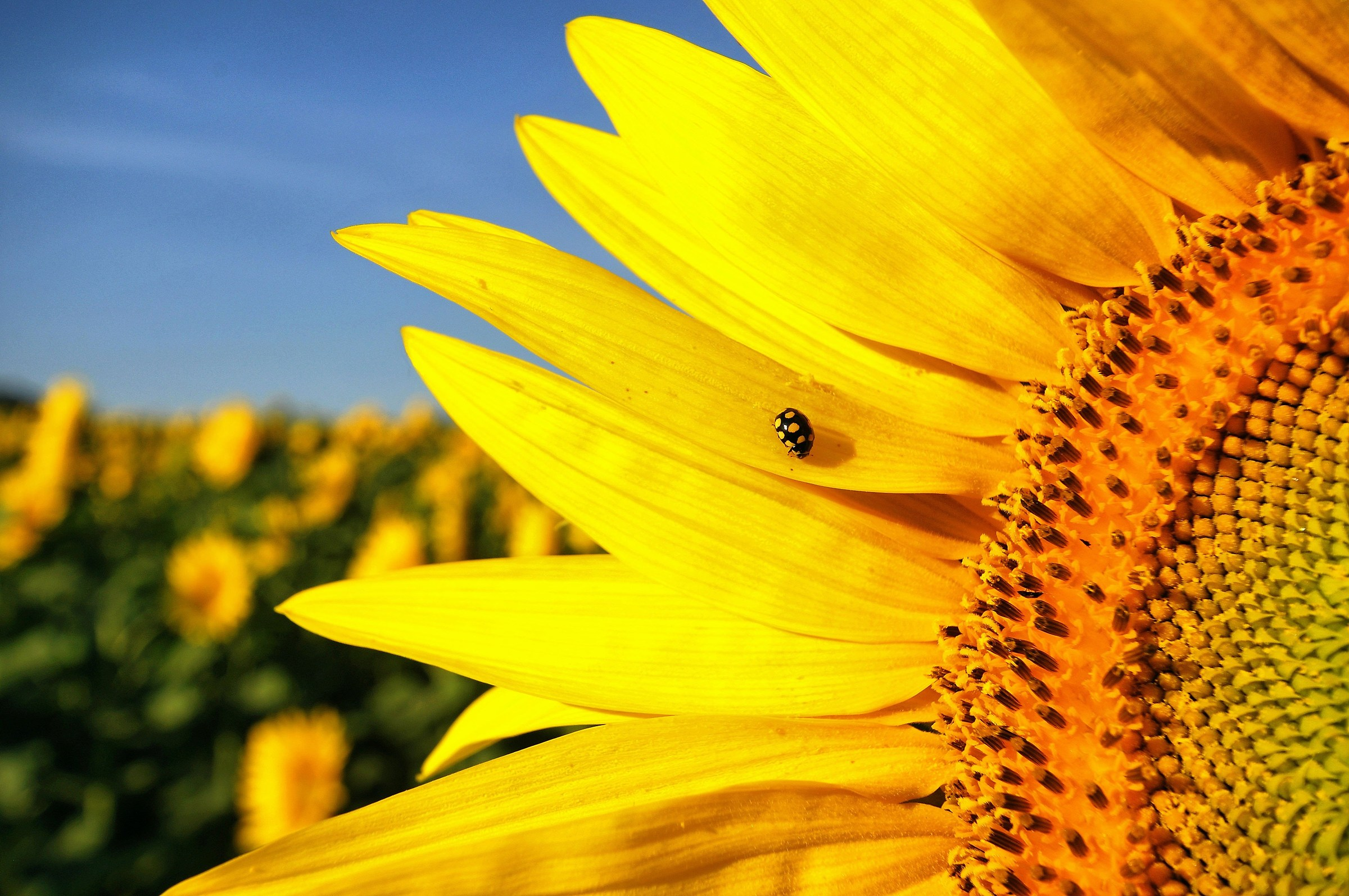 Sunflower with guest...