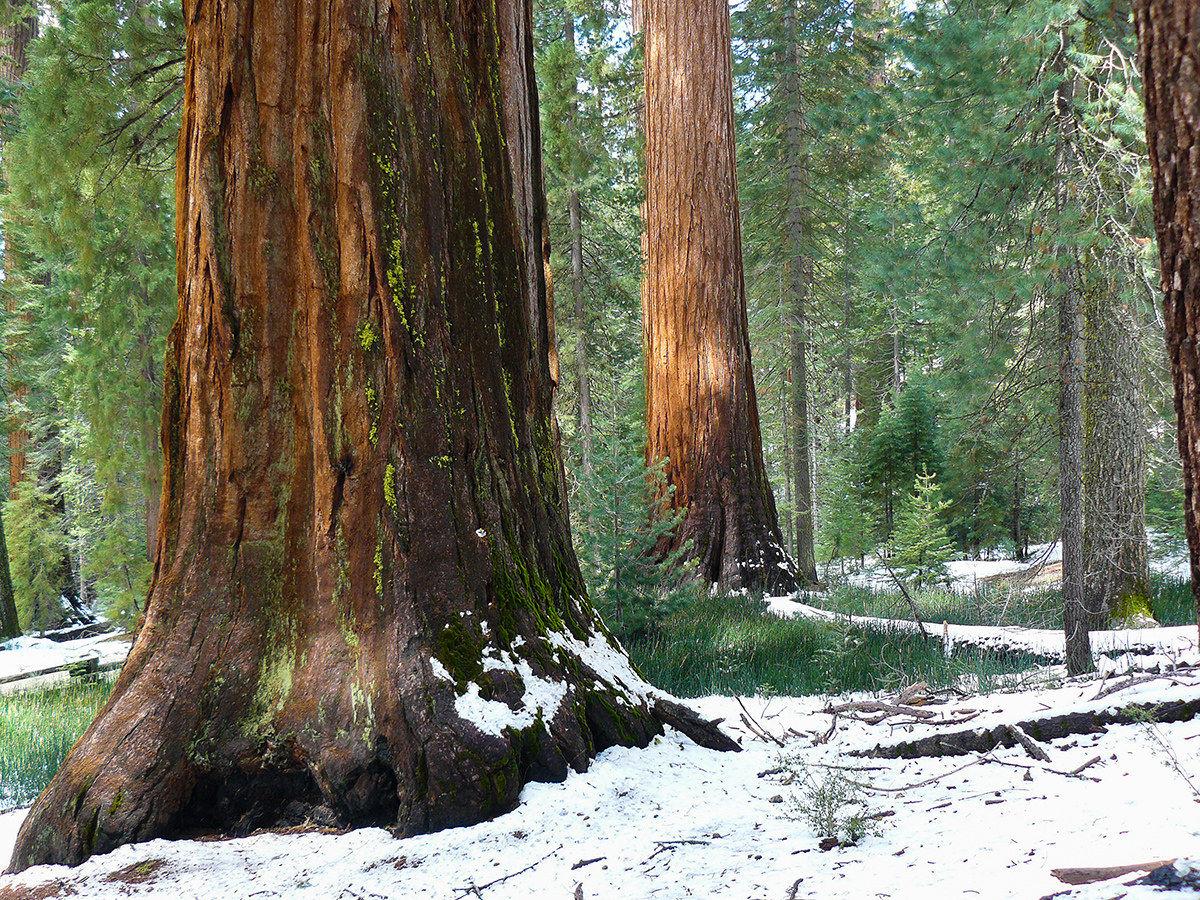 Sequoia...