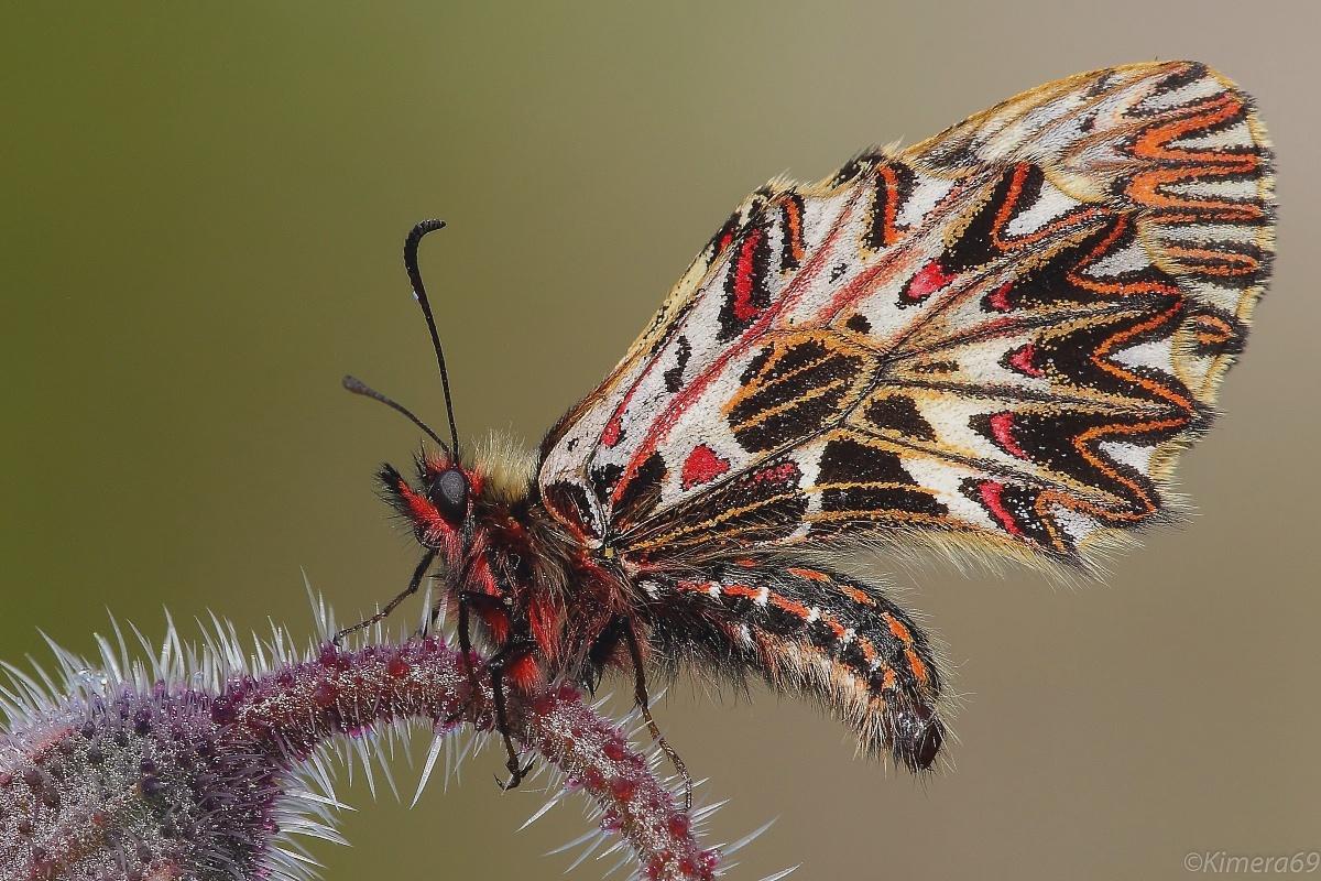 Zerinthia cassandra - male -...