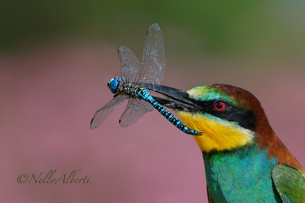 bee-eater with a dragonfly...
