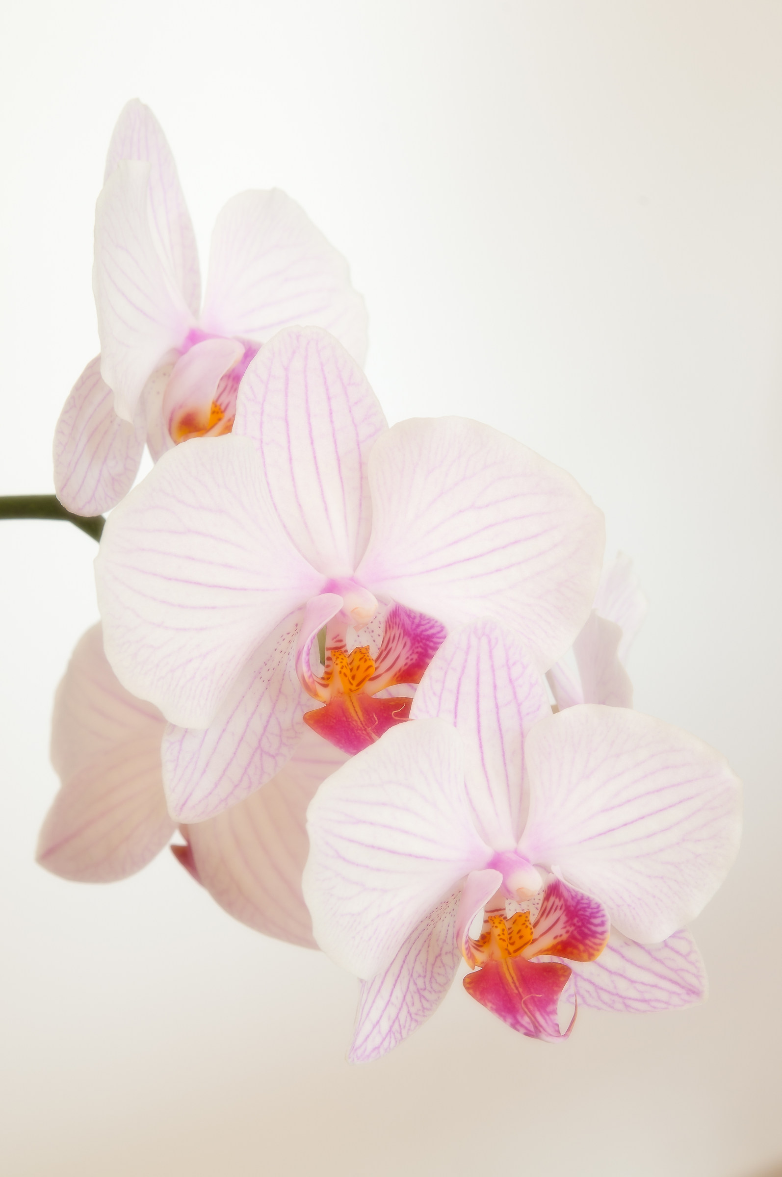 orchid soft...