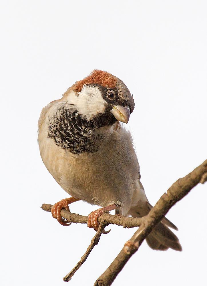 House Sparrow#2...