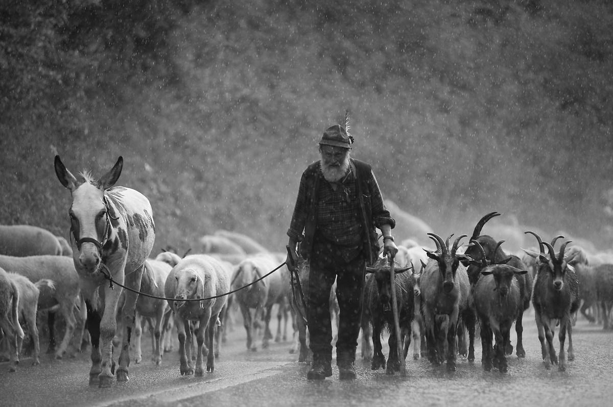 Il duro lavoro del pastore...