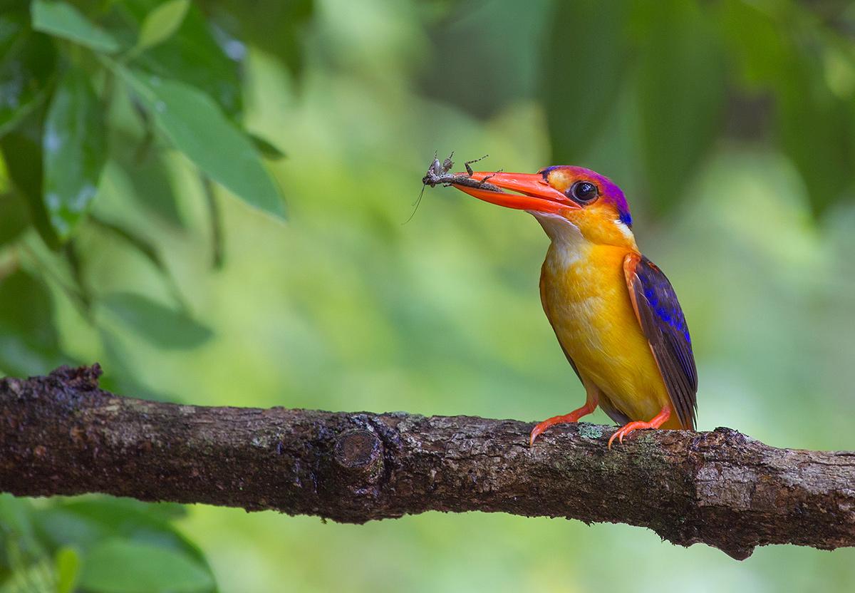Oriental Dwarf Kingfisher #2...