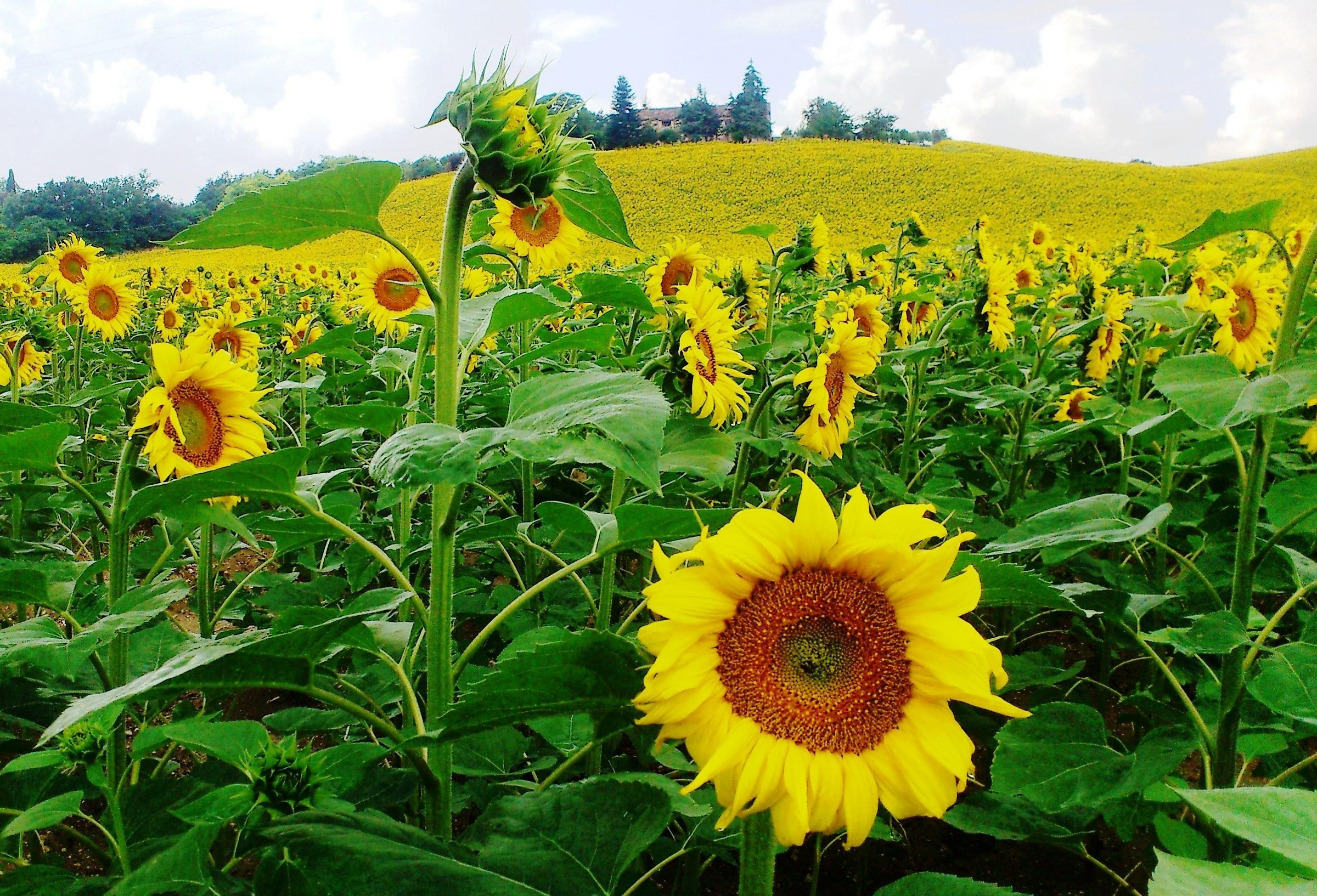 The charm of sunflowers ......