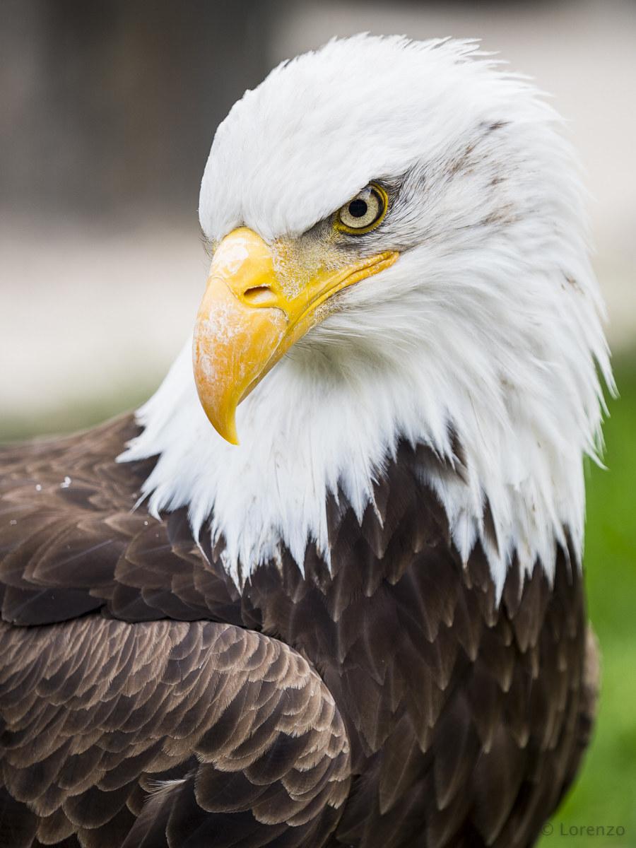 Bald eagle mother...