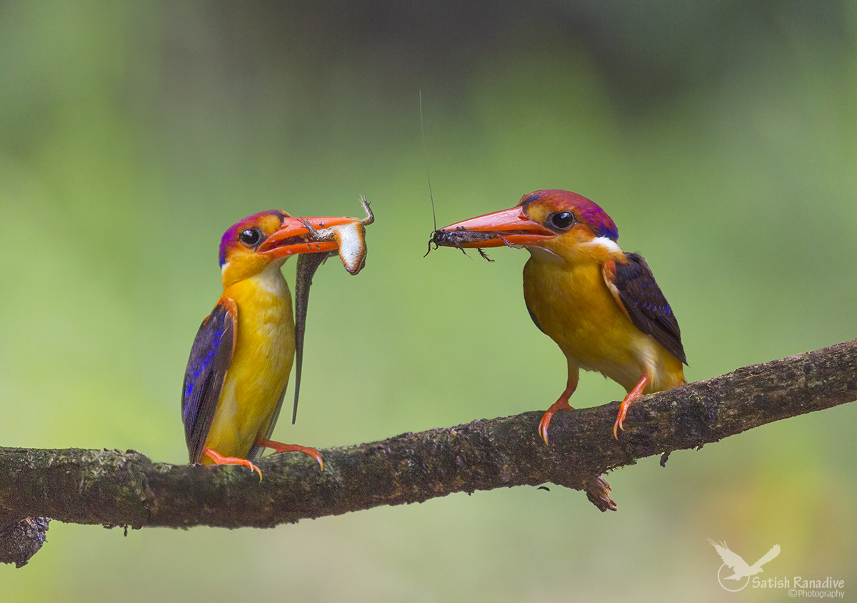 Beautiful Pair of Oriental Dwarf Kingfisher....