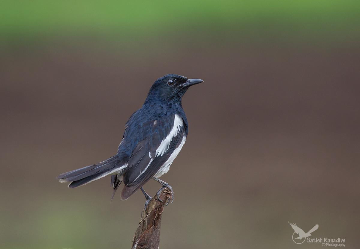 Oriental Magpie Robin....
