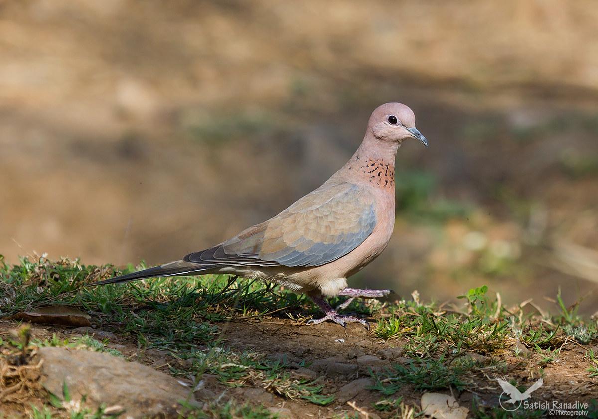 Lagughing Dove....