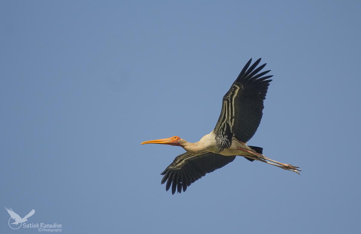 Painted Stork....