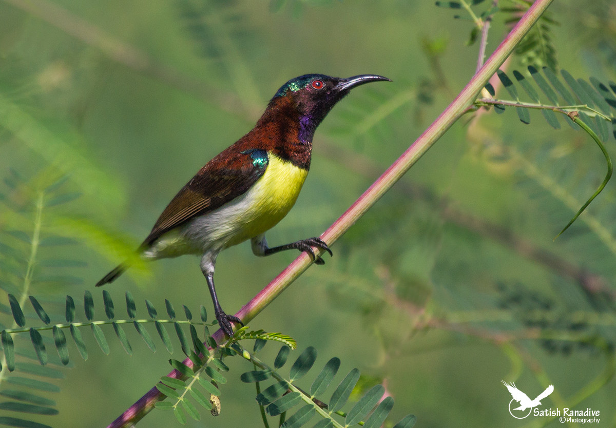 Purple-rumped Sunbird....