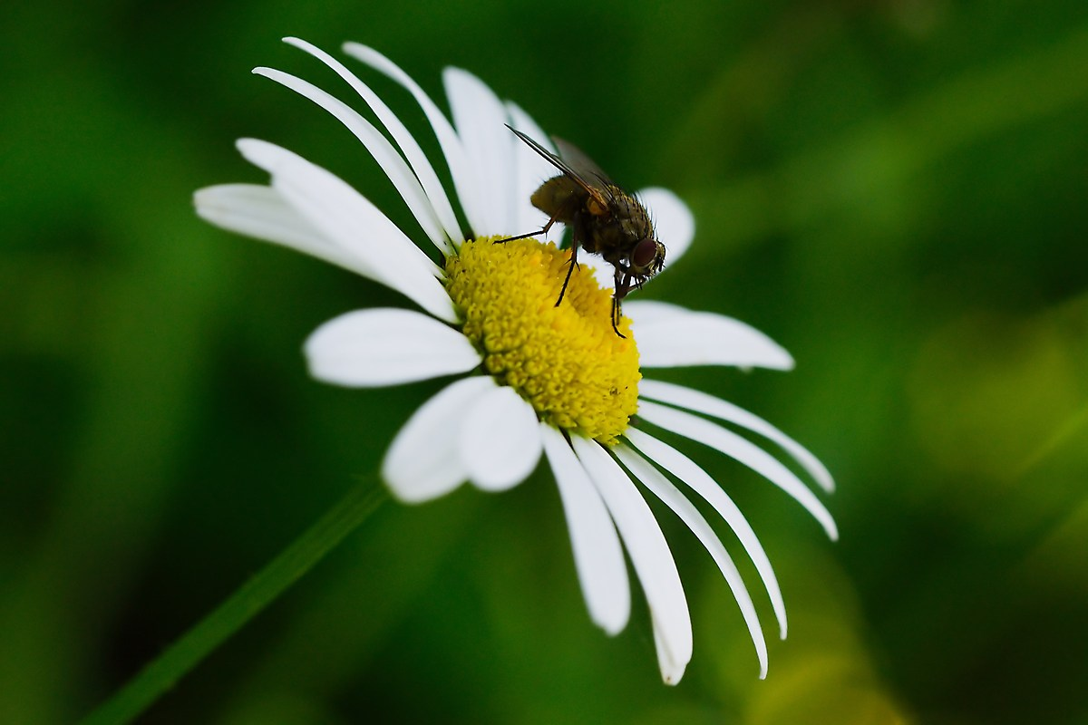 Fly on Daisy...