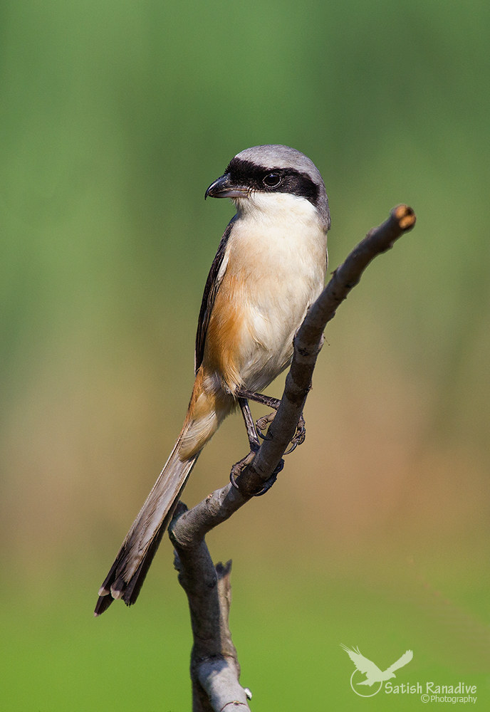 Long-tailed Shrike: front view....