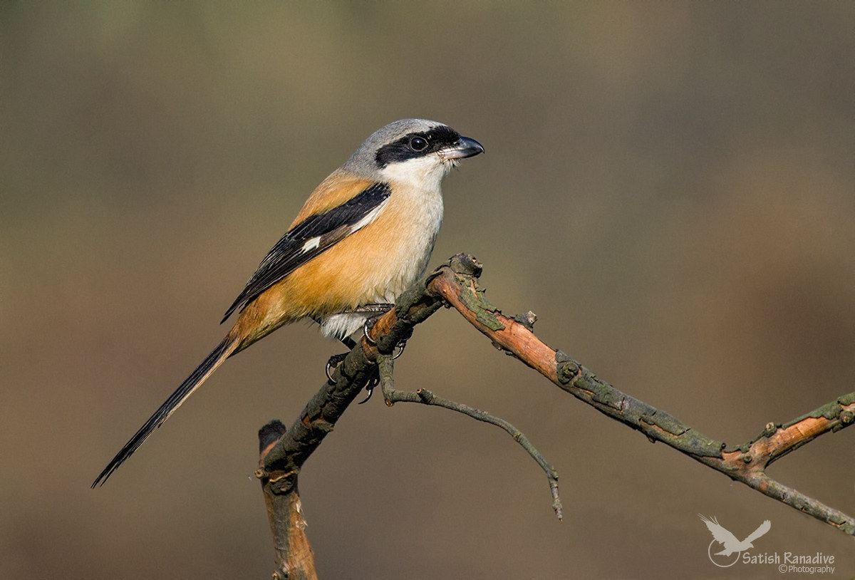 Long-tailed Shrike: profile picture....