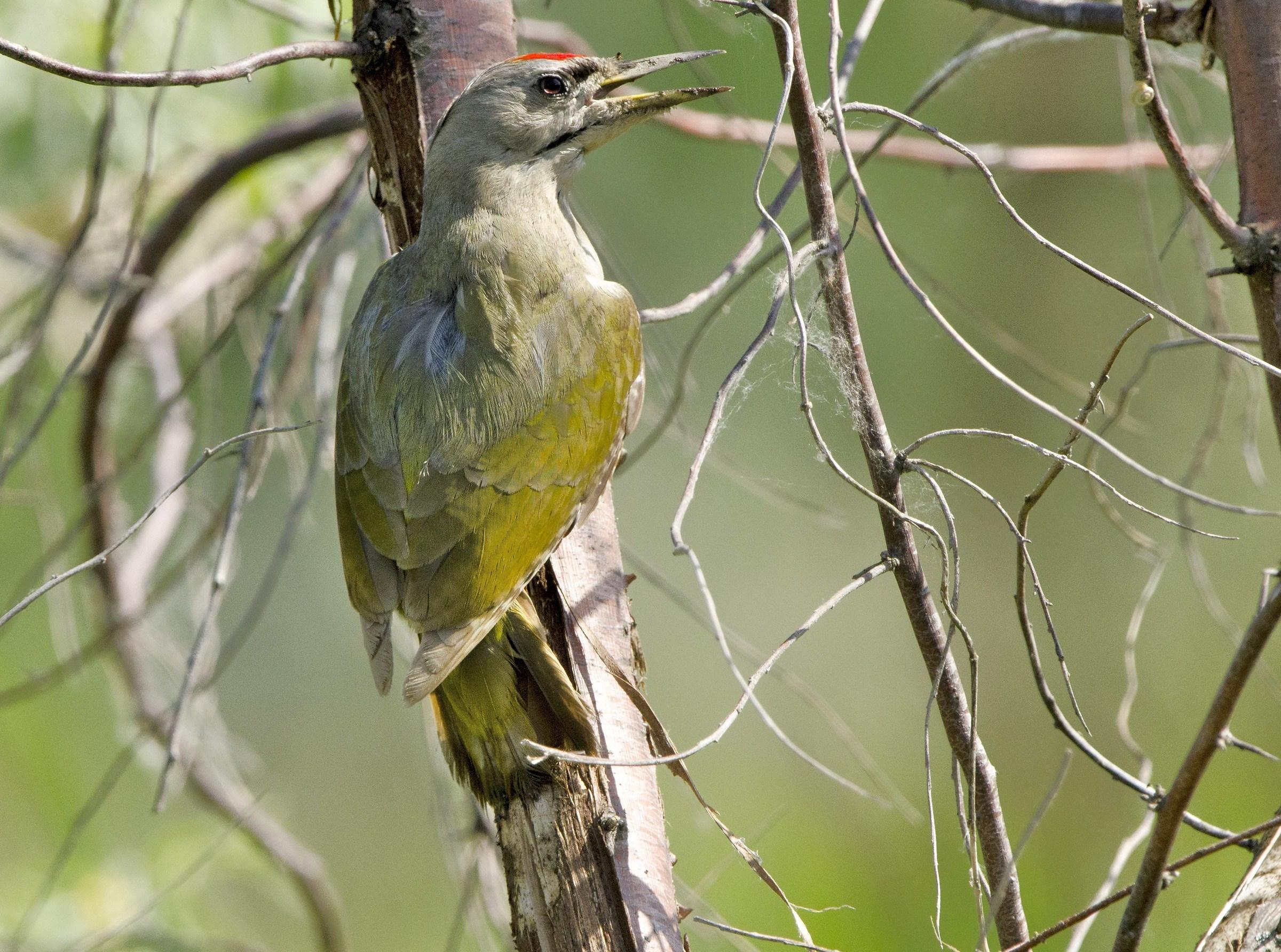 The woodpecker...