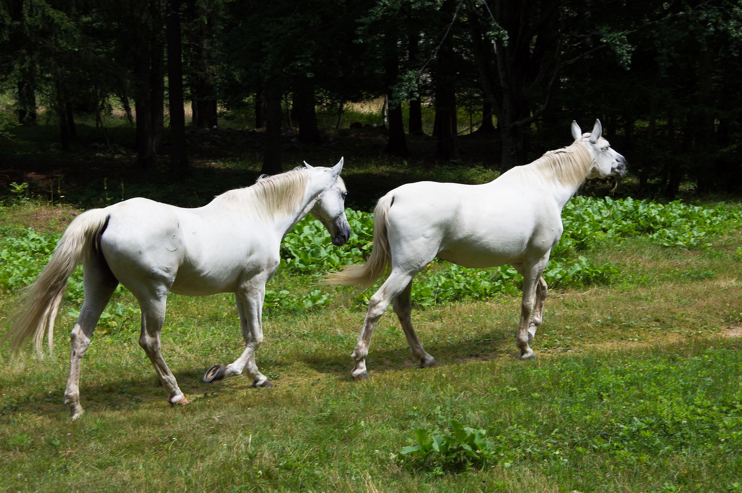 Cavalli bianchi...