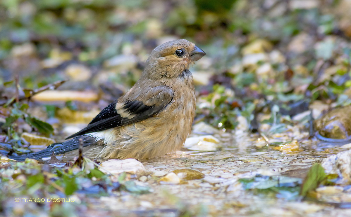 Young bullfinch...