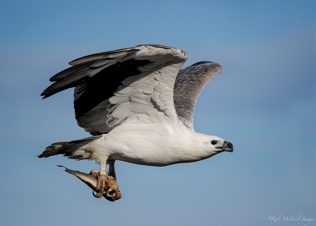 white bellied sea eagle...