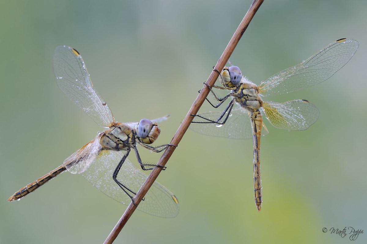 Friends dragonflies...