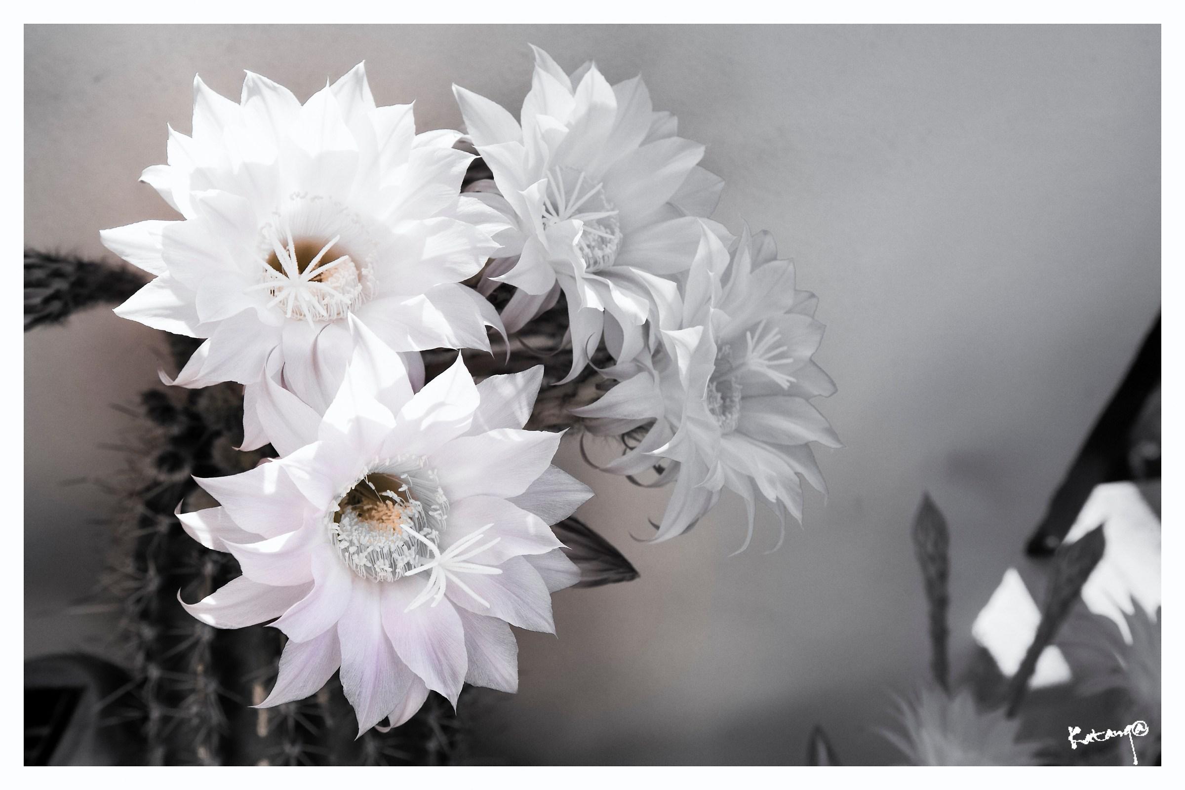 Cactus flowers...