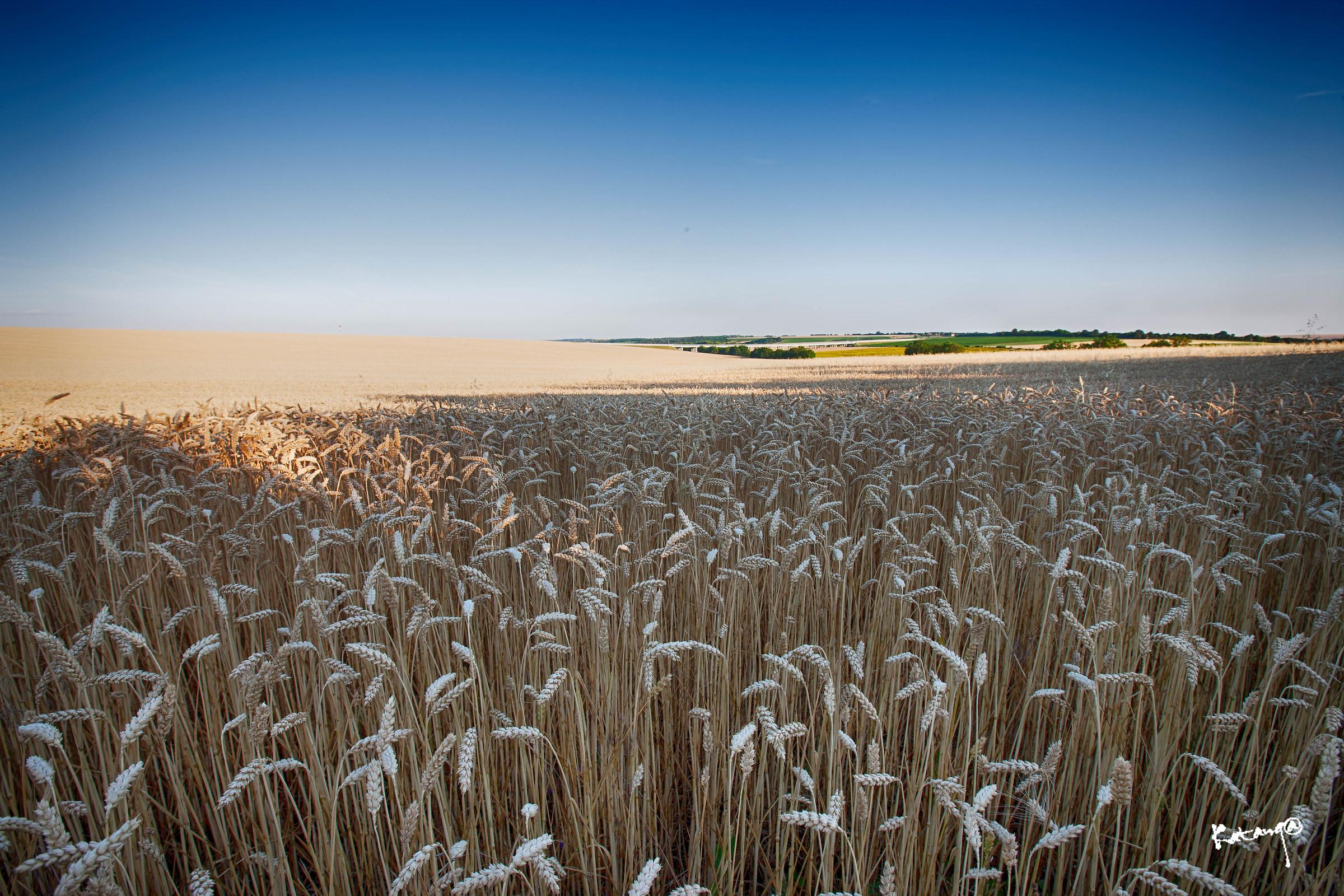 Barley in the sun...