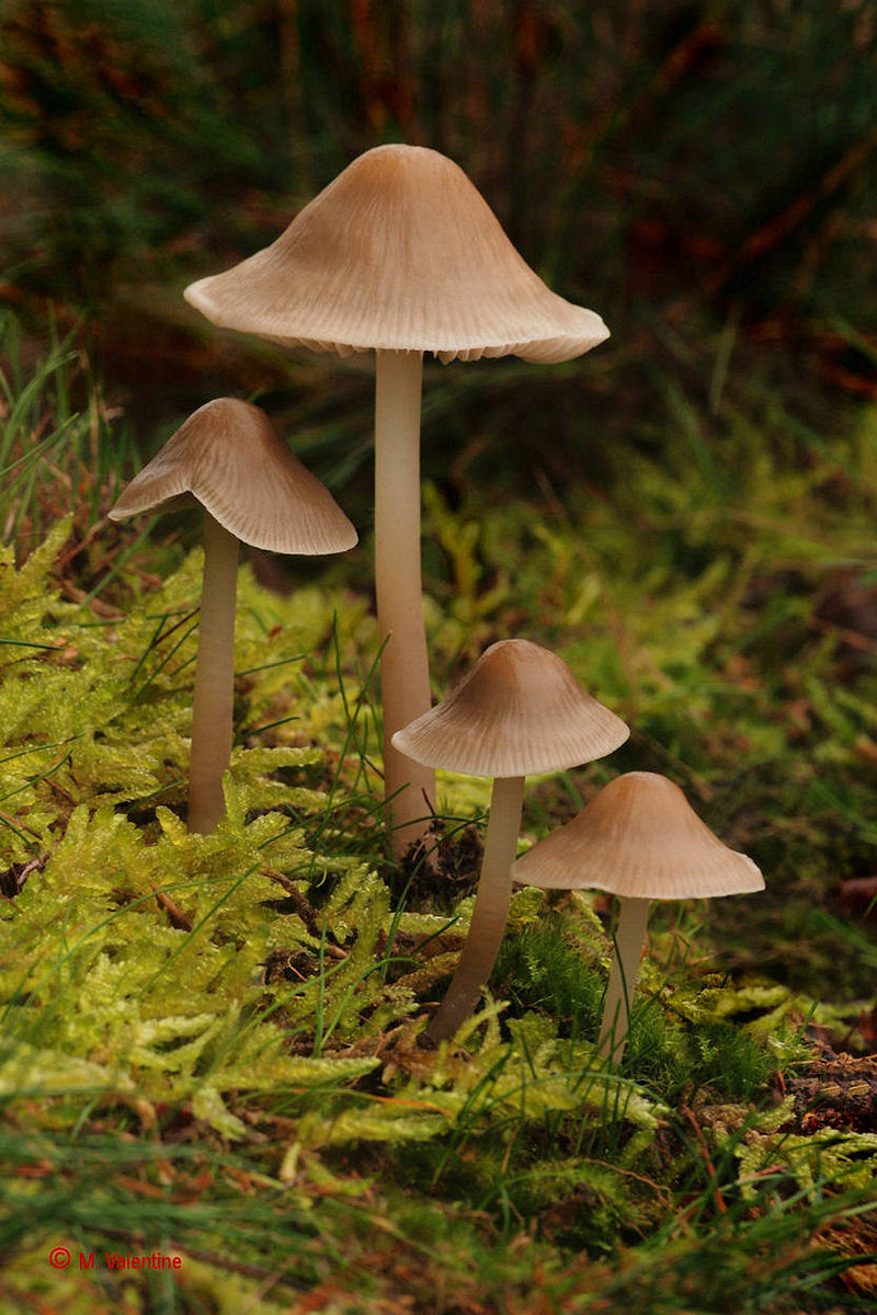 Common Bonnet - Mycena galericulata...