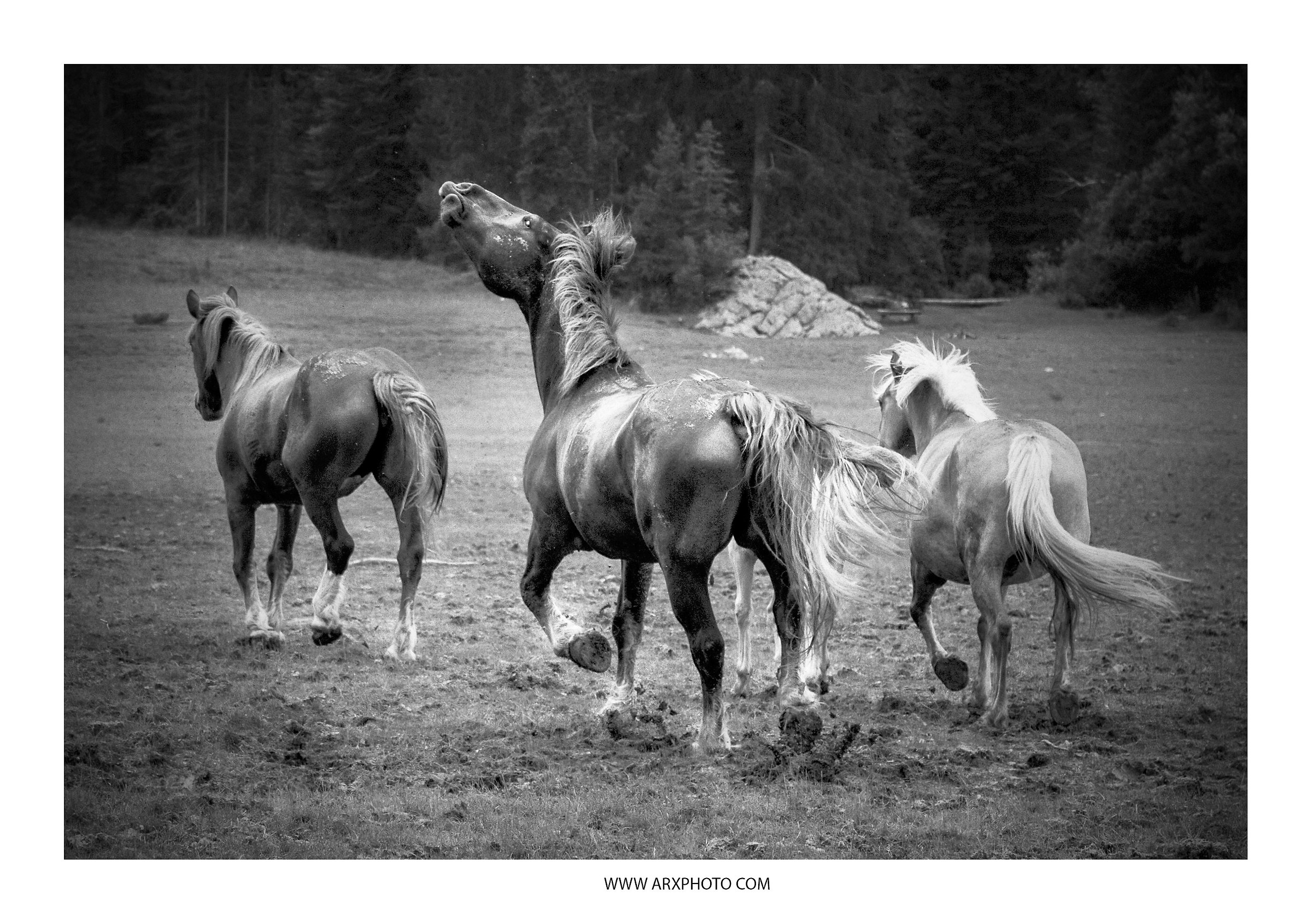 cavalli...