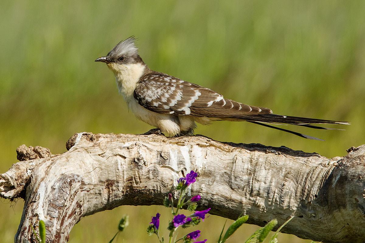 crested cuckoo...