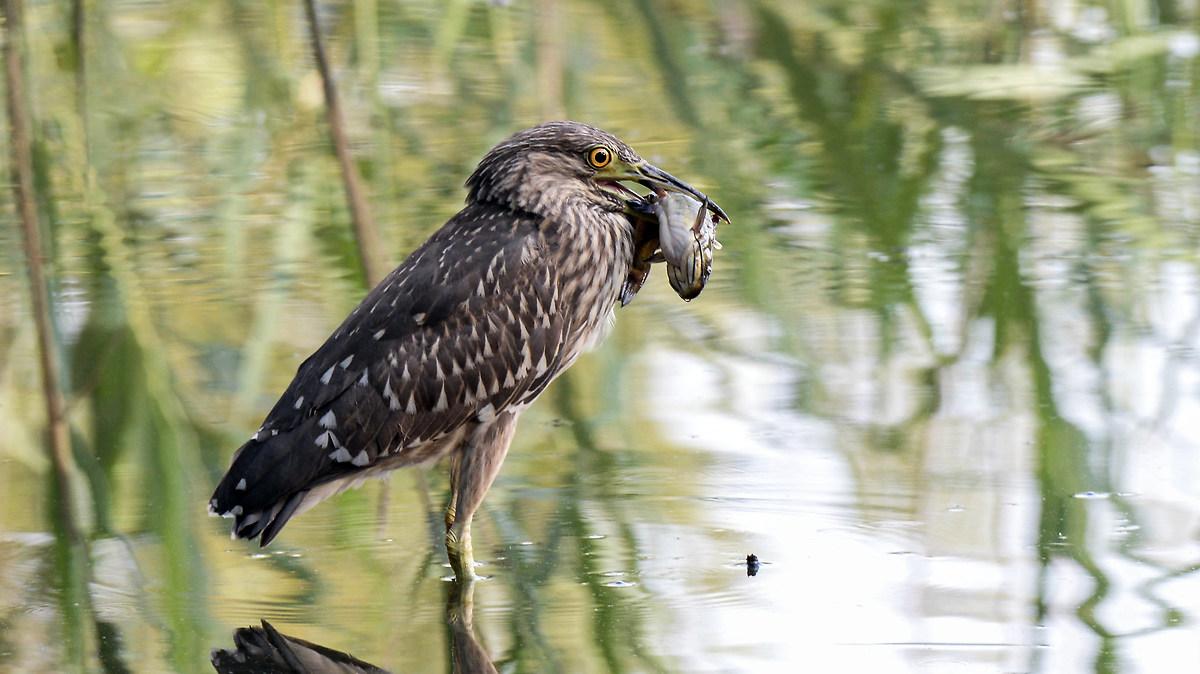 young night heron...