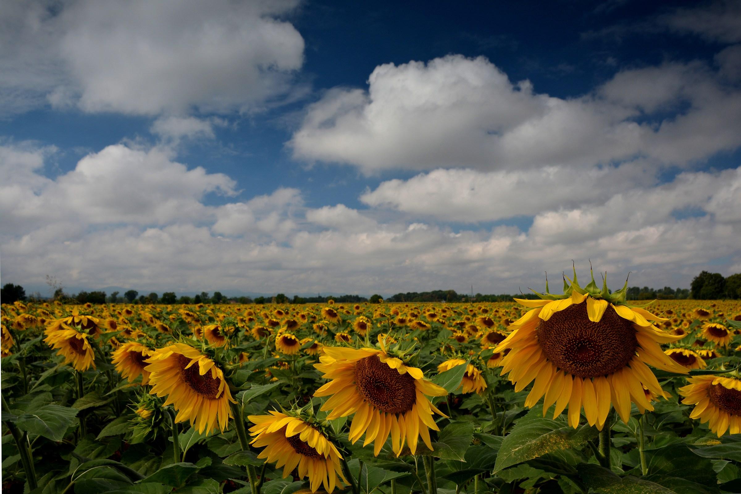 end season of sunflowers ......