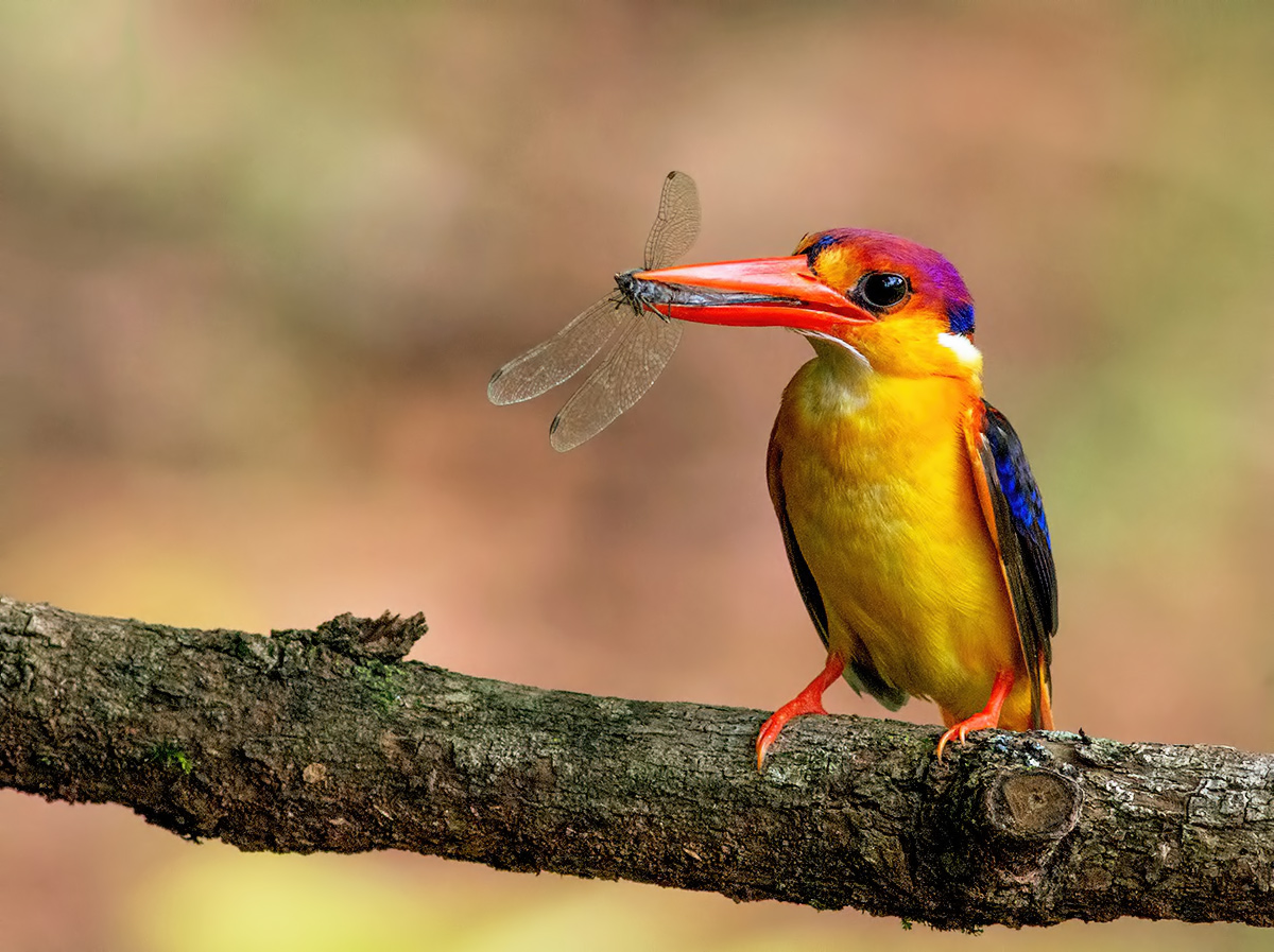 Oriental Dwarf Kingfisher with Dragon fly....