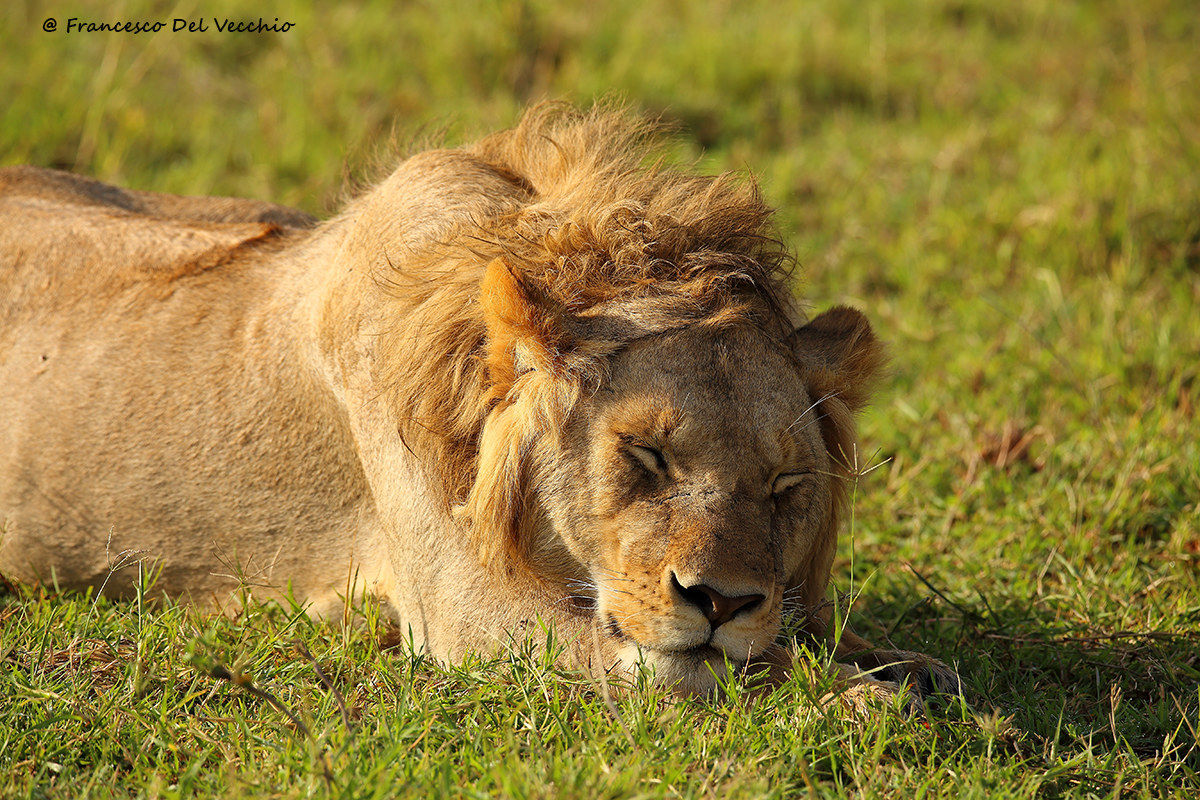 Young lion unit of Marsh Pride...