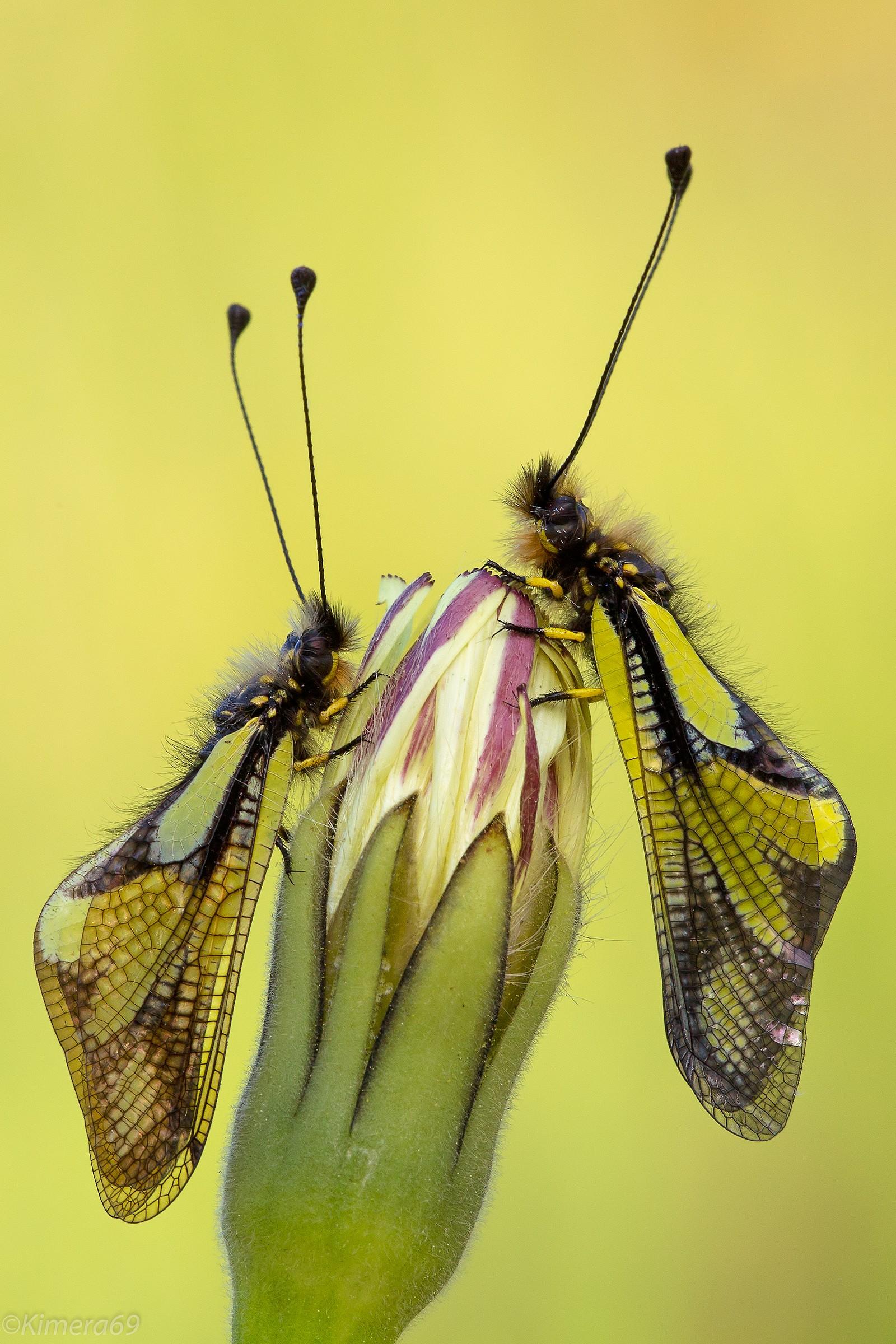 Libelloides coccajus...