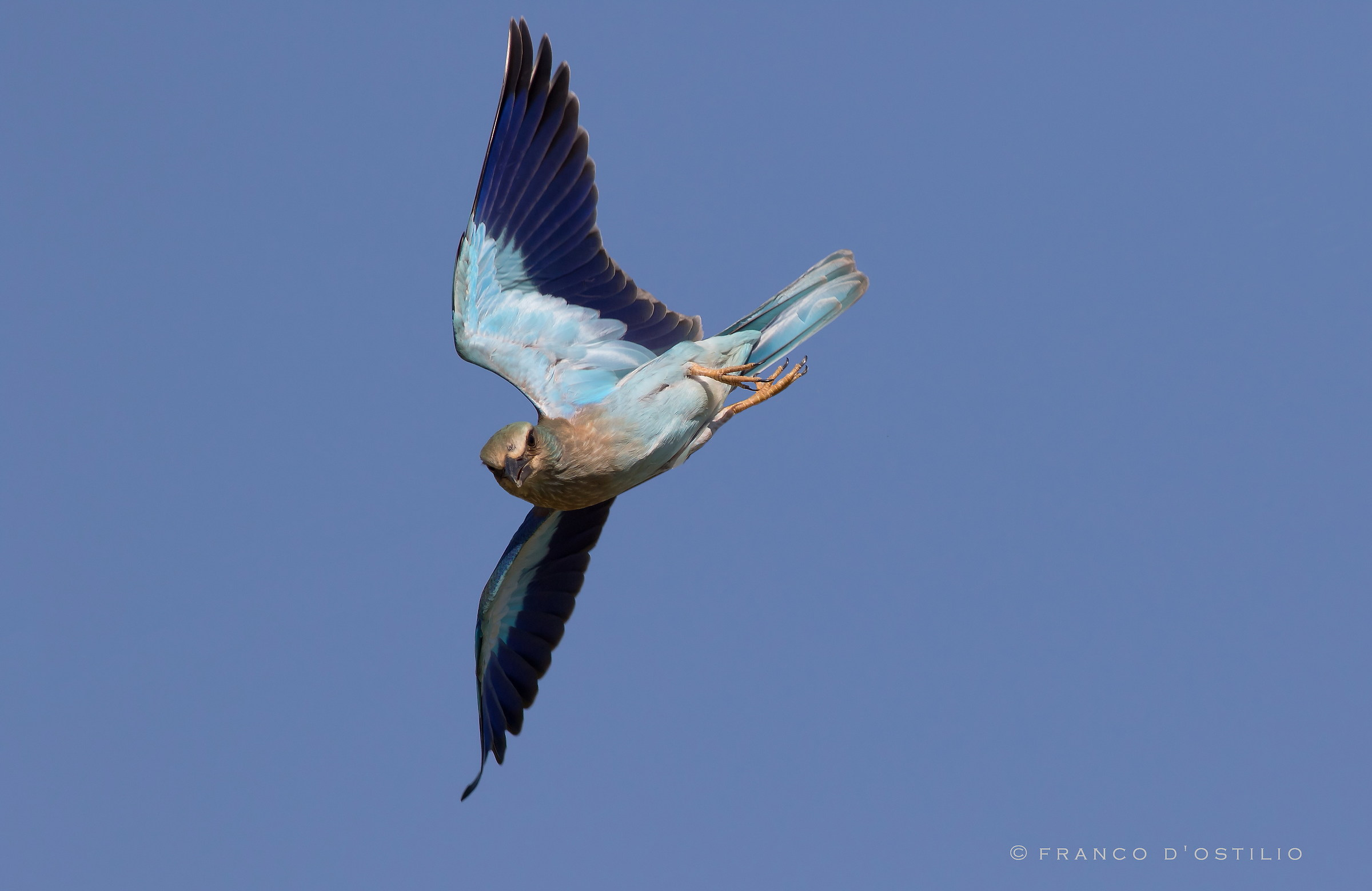 European roller on the fly....