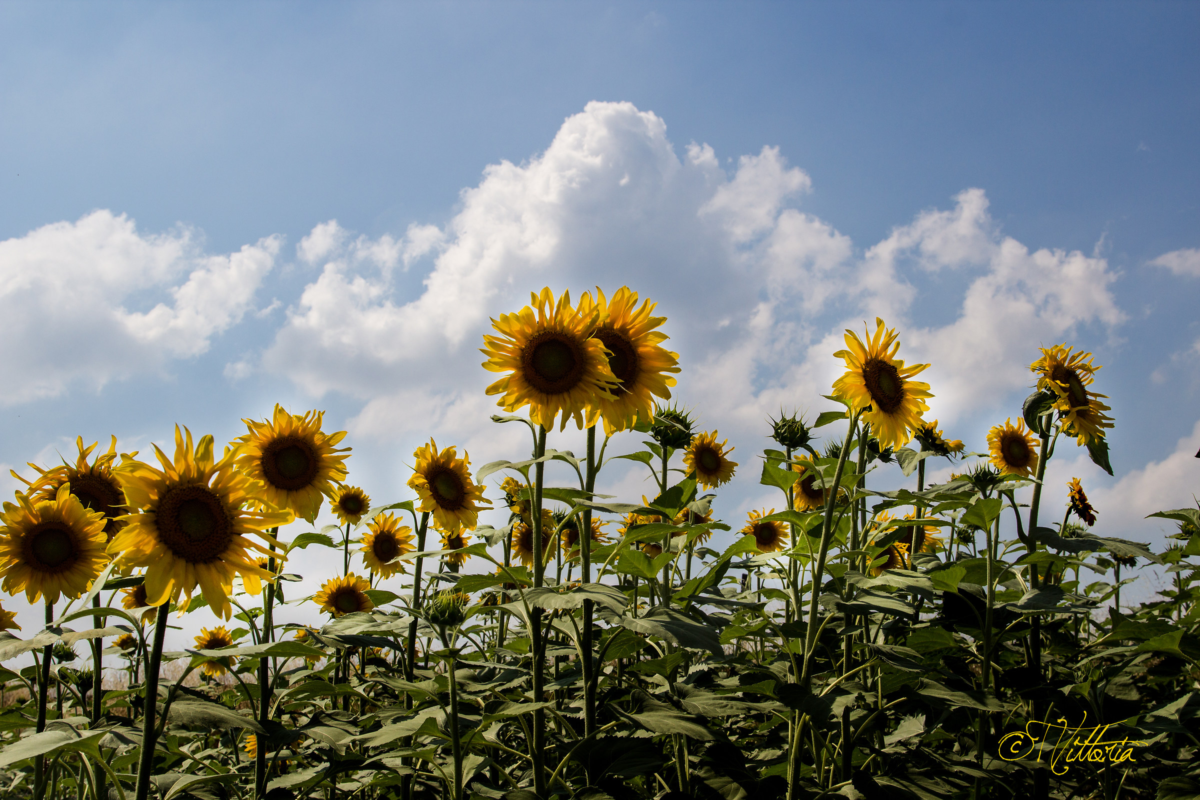 Sunflowers 2014...