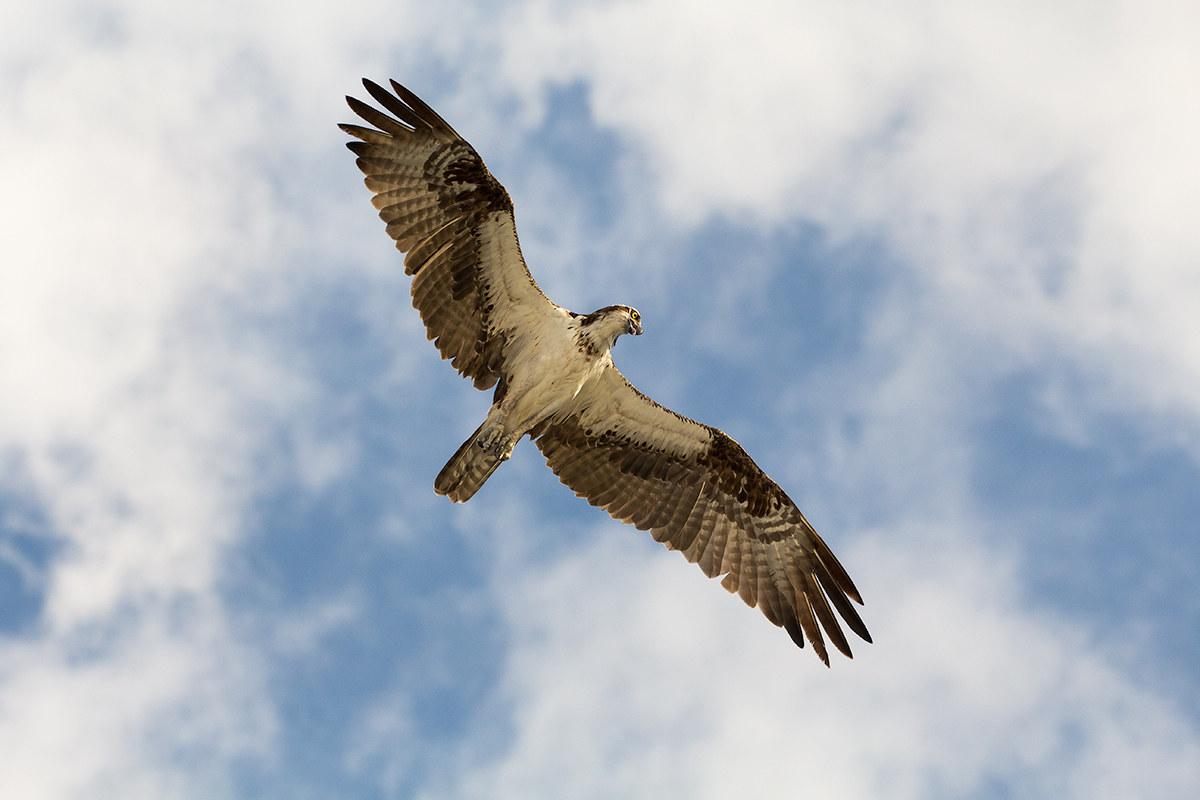Osprey - Falco Pescatore...